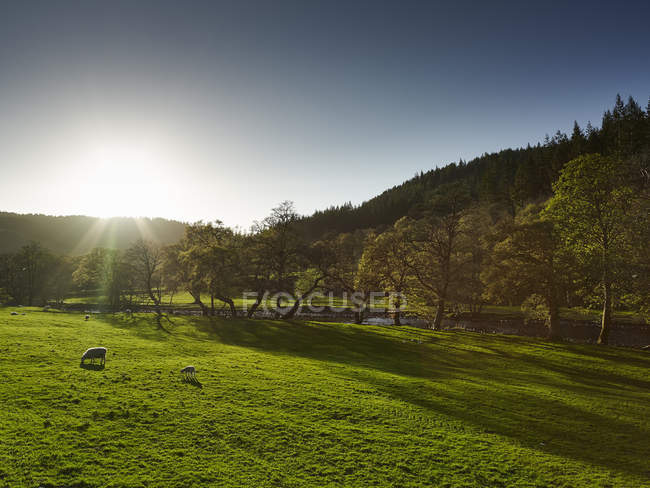 Exuberante paisagem verde com pastoreio de ovelhas na luz solar — Fotografia de Stock