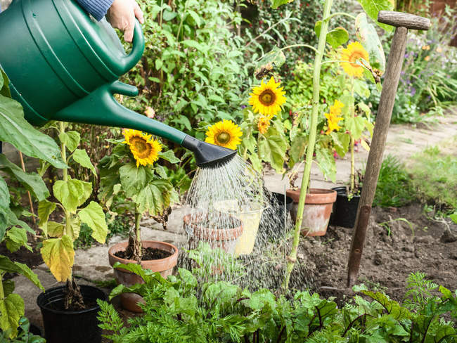 Cropped image of woman watering plants in backyard with watering can — Stock Photo