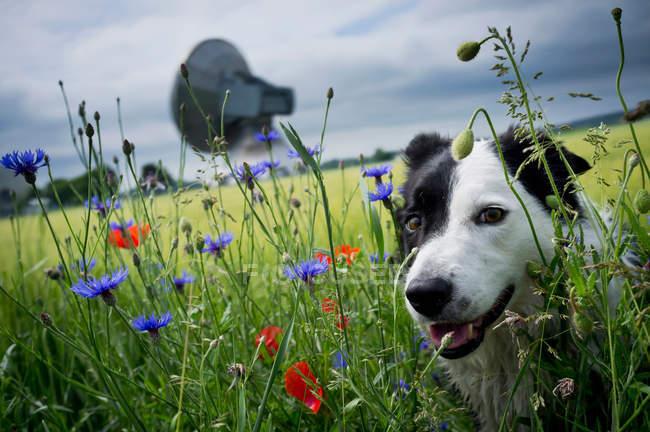 Cão na grama alta com flores silvestres — Fotografia de Stock