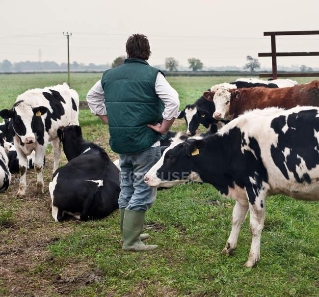 Vue arrière du fermier avec pâturage de vaches dans le paysage rural — Photo de stock