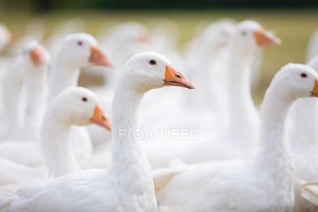 Cansos blancos madeja en el prado — Stock Photo