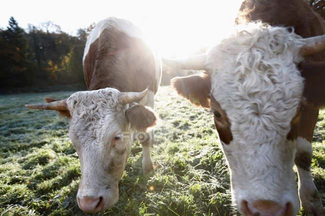 Две коровы на зеленом поле в ярком солнечном свете — стоковое фото