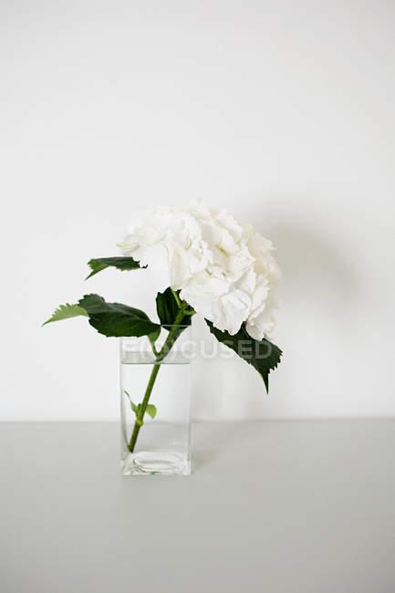 Weiße Hortensienblüte in Glasvase — Stockfoto