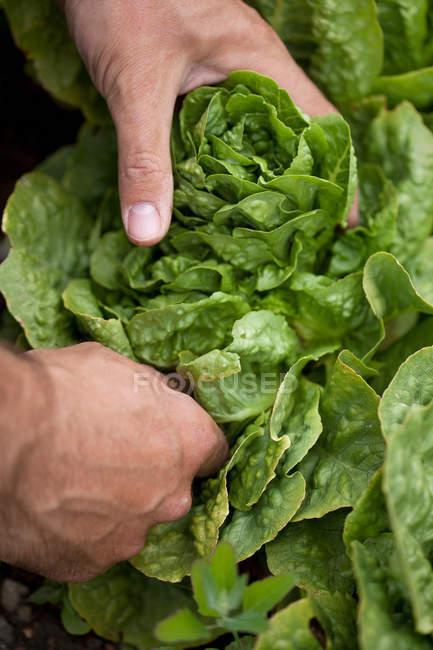 Uomo raccolta testa di lattuga, primo piano vista parziale — Foto stock