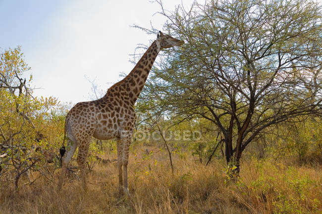 Side view of beautiful giraffe grazing in wild, kruger national park, mpumalanga, africa — Stock Photo