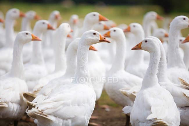 Crescina di oche bianche sul prato — Foto stock