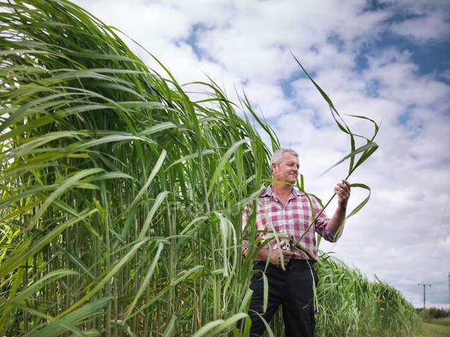 Фермер проверяет топливо для биомассы
