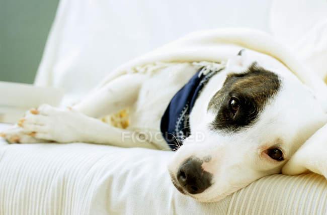 Cão deitado no sofá — Fotografia de Stock
