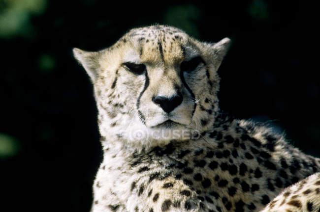 Vista del ghepardo con fuori sfondo sfocato — Foto stock