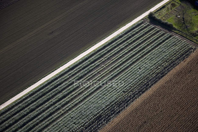 Orderly field crops — Stock Photo