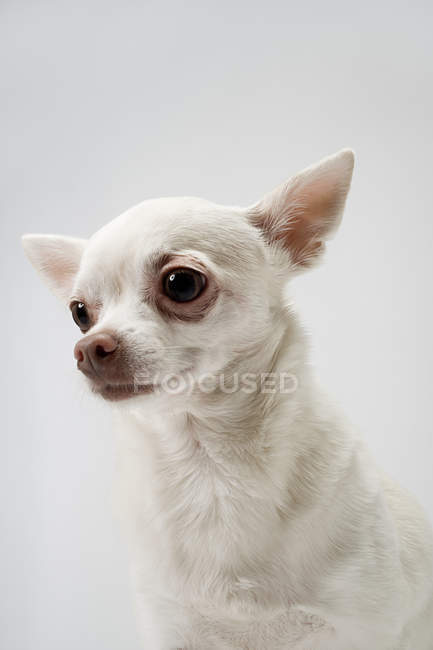 Close up shot of chihuahua dog head — Stock Photo