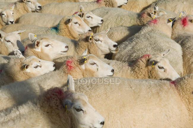 Schafherde im Sonnenlicht — Stockfoto
