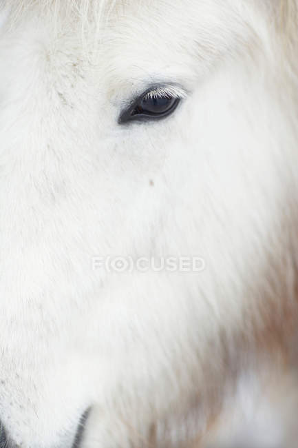 Gros plan de œil blanc cheval poilu — Photo de stock