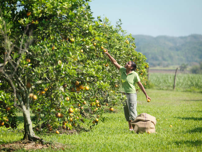 Female Worker Picking Oranges — Stock Photo