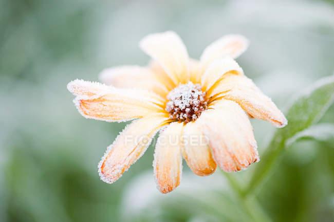 Geada na flor de laranjeira — Fotografia de Stock