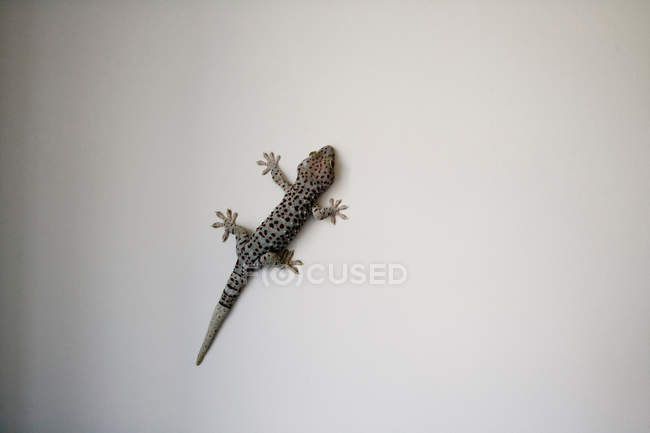 Lizard against grey background — Stock Photo