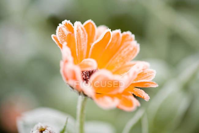 Geada em uma flor de laranjeira — Fotografia de Stock