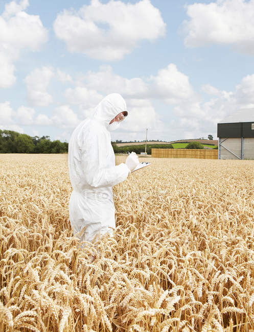 Scientist examining grains in crop field — Stock Photo