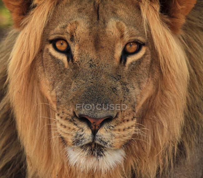 Ritratto di leone al Parco Transfrontaliero delle Kgalagadi, Africa — Foto stock