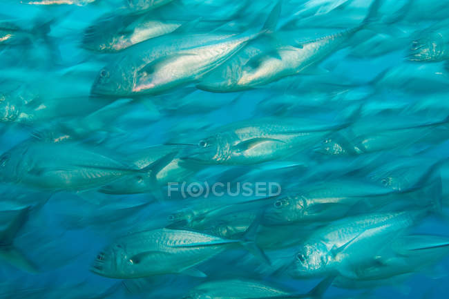 Schooling fish swimming under blue water — Stock Photo
