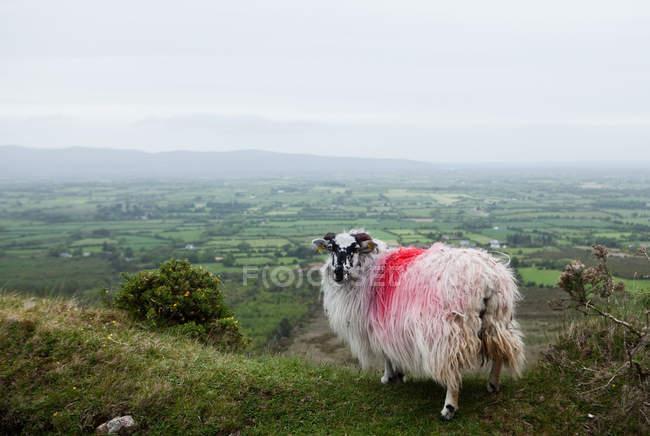 Червоний спрей пофарбований овець на схилі — стокове фото