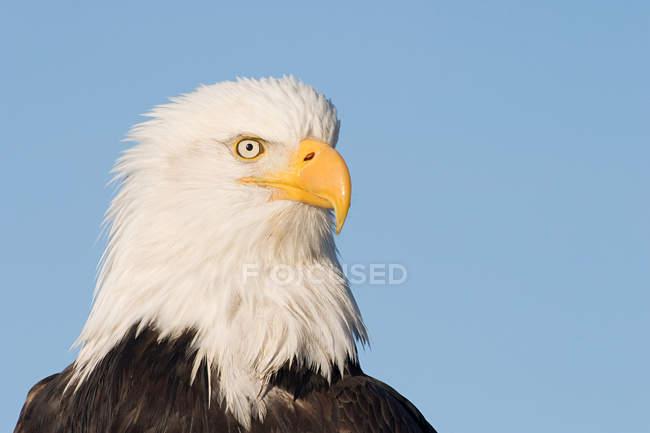 Cabeza de águila calva con cielo azul - foto de stock