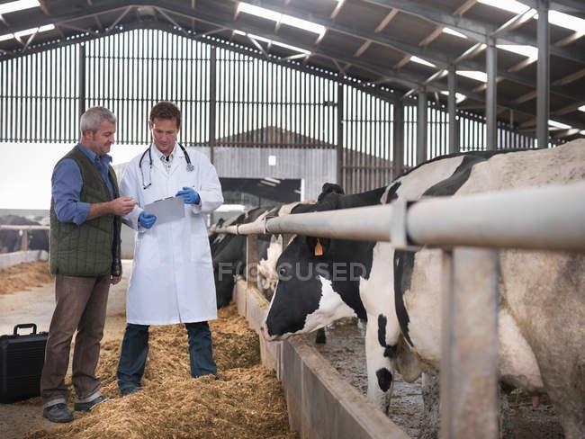 Landwirt und Tierarzt diskutieren Kühe im Stall auf Milchviehbetrieb — Stockfoto