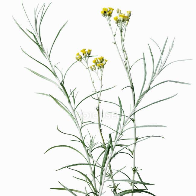 Gros plan des tiges de fleurs à fleurs jaunes — Photo de stock