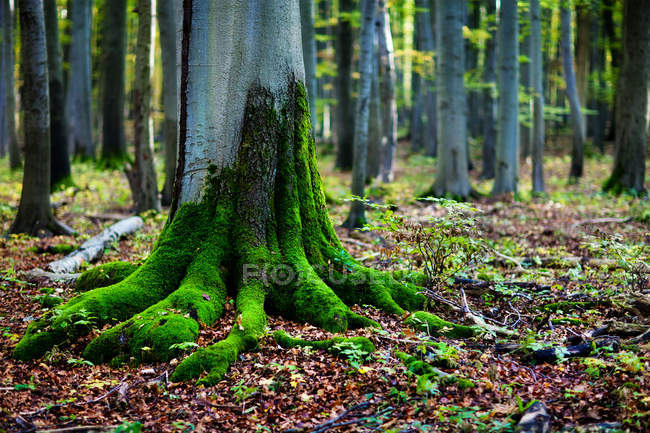 Green moss on tree roots in forest — Stock Photo