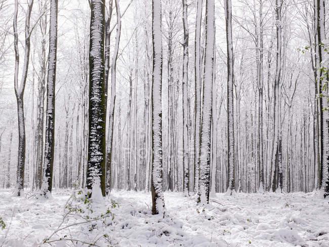 Árvores nuas sob a neve — Fotografia de Stock
