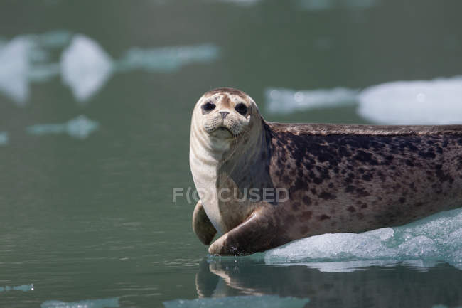 Ohrenlose Robbe in der Nähe des Tracy-Arm-Gletschers — Stockfoto
