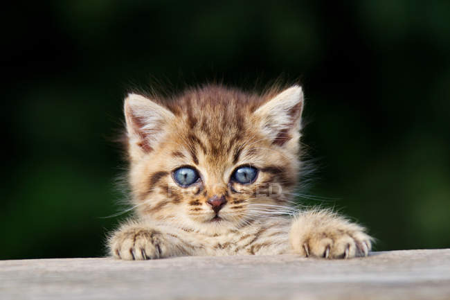 Kitten peeking over fence and looking at camera — Stock Photo