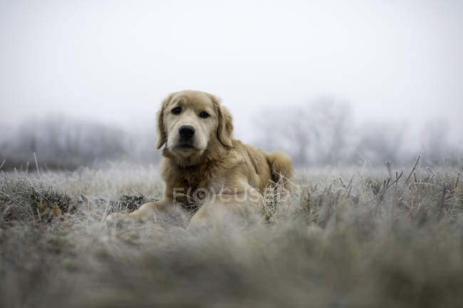 Golden retriever couché sur champ glacial et regardant la caméra — Photo de stock