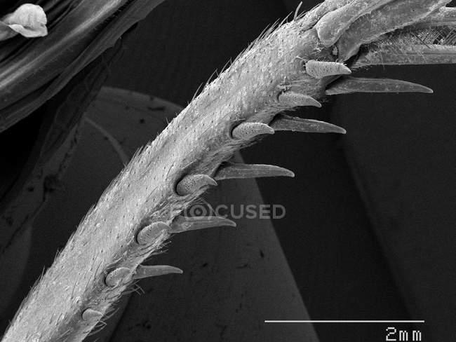 Крикет шпори ногу з масштабованого правило — стокове фото