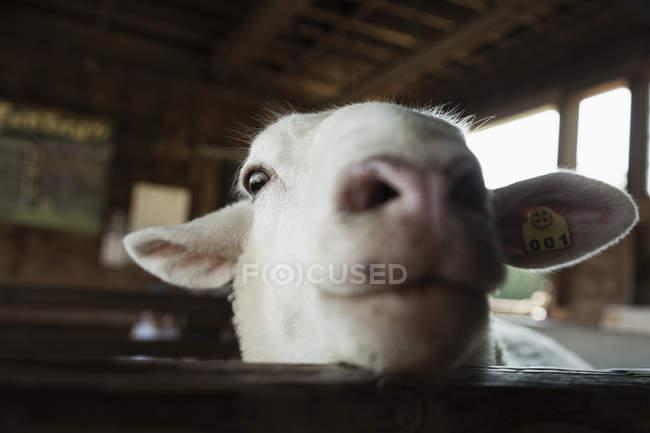 Lustige Ziege Blick Uber Den Zaun Auf Der Farm Aus Holz Auf Der