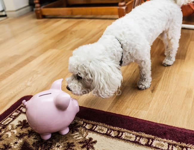 Hund untersuchen Sparschwein — Stockfoto