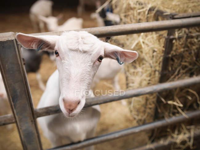 Chèvre, piquer la tête par la porte de la ferme — Photo de stock