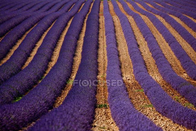 Ряды фиолетовых цветов — стоковое фото