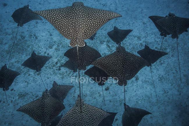 Raggi d'aquila macchiati che proiettano ombre sui fondali marini — Foto stock