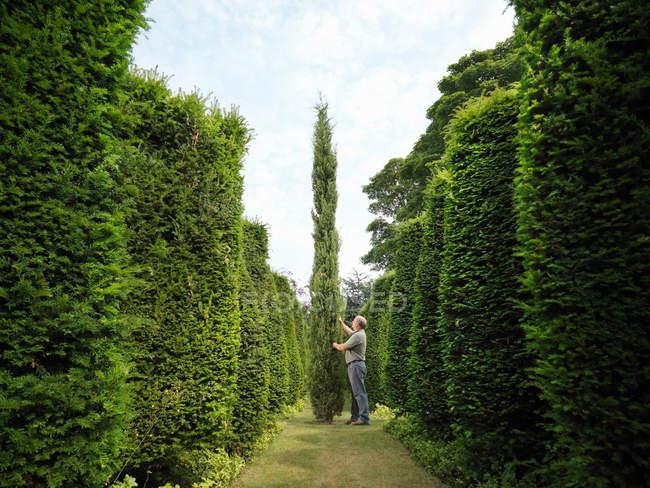 Jardineiro Inspecionando Árvores Evergreen — Fotografia de Stock