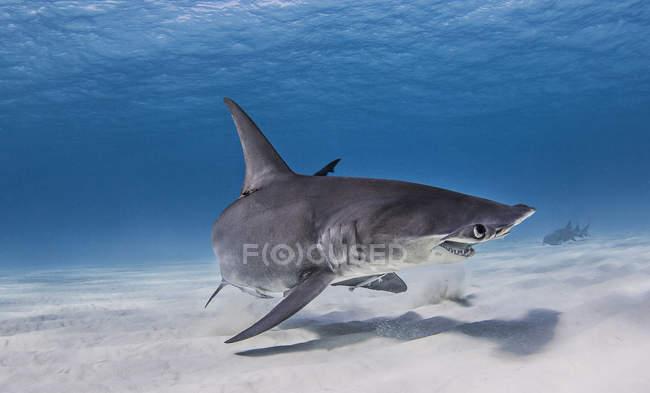 Grande piscine de requin près des fonds marins — Photo de stock