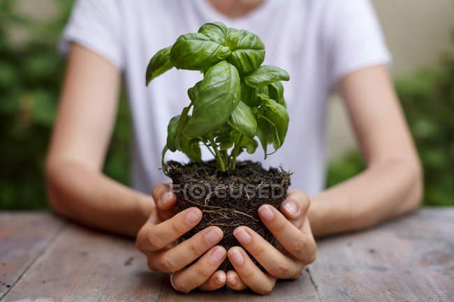 Vista recortada de las manos sosteniendo la planta de albahaca - foto de stock