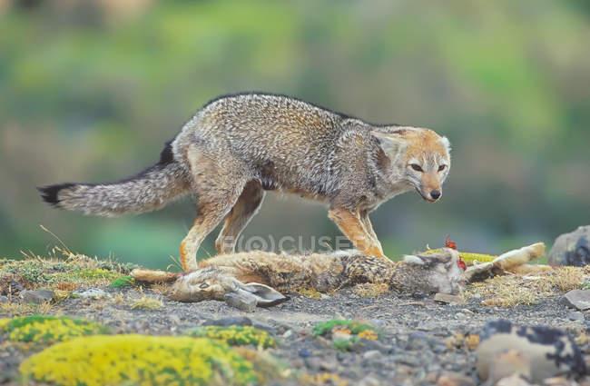 Одичалая лисица патагонского защищая добычу заяц — стоковое фото