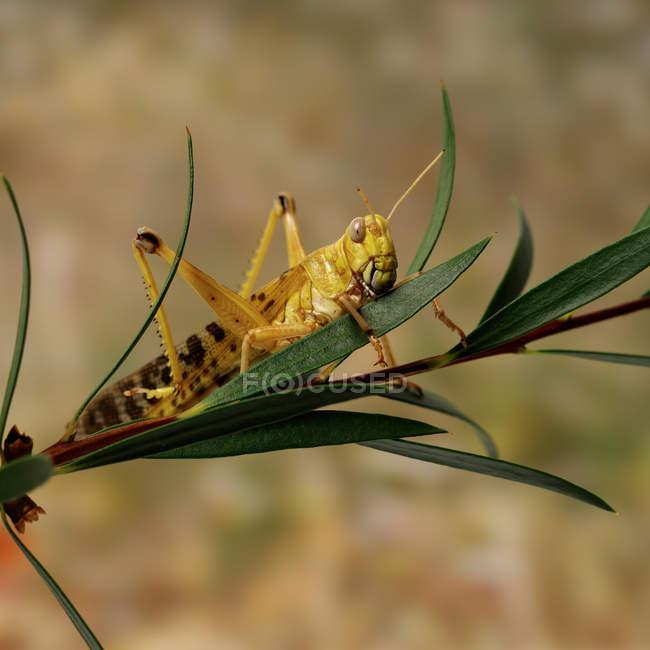 Vista ravvicinata delle cavallette piccoli belle seduta sulla pianta verde — Foto stock