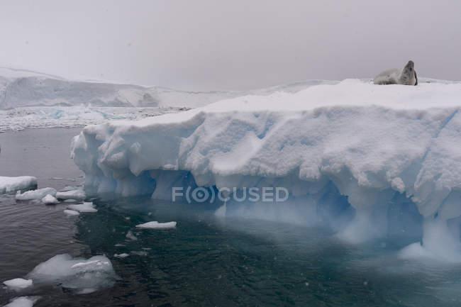 Crabeater seal on ice, Portal Point, Antarctica — Stock Photo