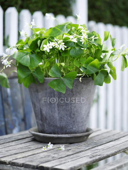 Garden plant with white flowers in tin plant pot — Stock Photo