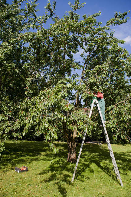 Woman pruning trees on ladder — Stock Photo