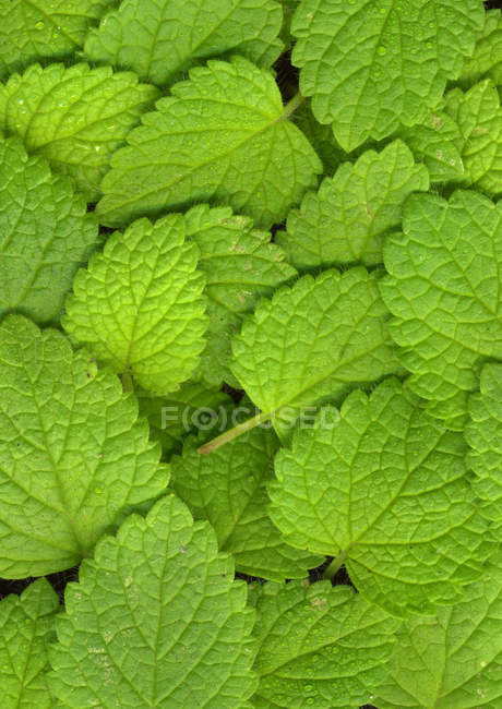 Close up shot of lush green mint leaves — Stock Photo