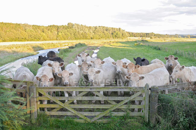 Vacas en pie junto a la cerca - foto de stock
