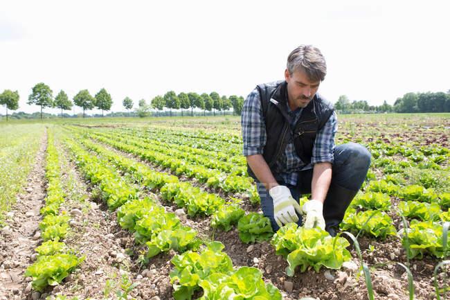 Agriculteur bio récolte de laitue — Photo de stock